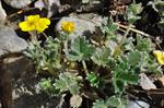 Potentilla hyparctica